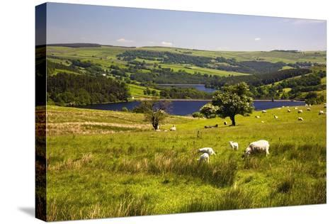 Sheffield, South Yorkshire, England; Sheep Grazing in a Pasture-Design Pics Inc-Stretched Canvas Print