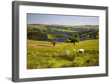 Sheffield, South Yorkshire, England; Sheep Grazing in a Pasture-Design Pics Inc-Framed Art Print