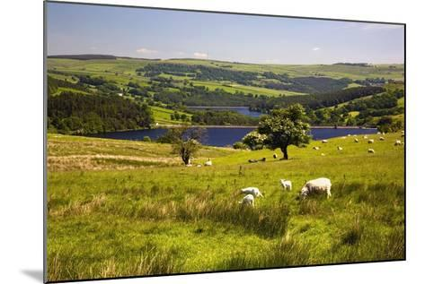 Sheffield, South Yorkshire, England; Sheep Grazing in a Pasture-Design Pics Inc-Mounted Photographic Print
