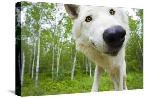 Closeup of Adult Wolf Face in Forest Minnesota Spring Captive-Design Pics Inc-Stretched Canvas Print