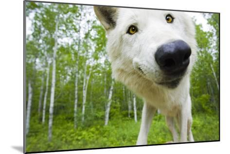 Closeup of Adult Wolf Face in Forest Minnesota Spring Captive-Design Pics Inc-Mounted Photographic Print