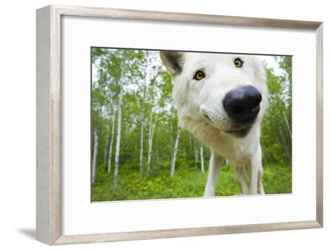 Closeup of Adult Wolf Face in Forest Minnesota Spring Captive-Design Pics Inc-Framed Art Print