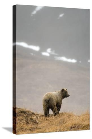 Brown Bear Standing on Ridge in Rain at Highway Pass Denali National Park Interior Alaska Autumn-Design Pics Inc-Stretched Canvas Print