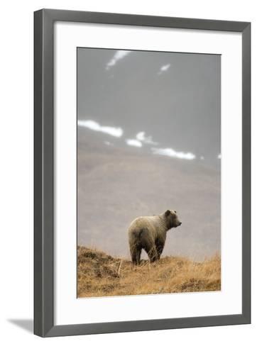 Brown Bear Standing on Ridge in Rain at Highway Pass Denali National Park Interior Alaska Autumn-Design Pics Inc-Framed Art Print