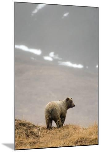 Brown Bear Standing on Ridge in Rain at Highway Pass Denali National Park Interior Alaska Autumn-Design Pics Inc-Mounted Photographic Print