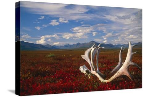 Caribou Skull and Antlers Laying on Arctic Tundra Kobuk Valley National Park Alaska Autumn-Design Pics Inc-Stretched Canvas Print