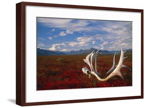 Caribou Skull and Antlers Laying on Arctic Tundra Kobuk Valley National Park Alaska Autumn-Design Pics Inc-Framed Art Print