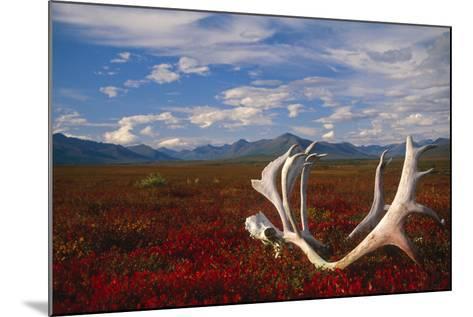 Caribou Skull and Antlers Laying on Arctic Tundra Kobuk Valley National Park Alaska Autumn-Design Pics Inc-Mounted Photographic Print