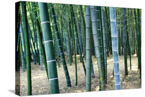 Bamboo Tree Forest, Close Up-Design Pics Inc-Stretched Canvas Print