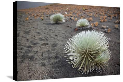 Hawaii, Maui, Haleakala, a Silversword Plant Growing Along the Trail of the Crater-Design Pics Inc-Stretched Canvas Print