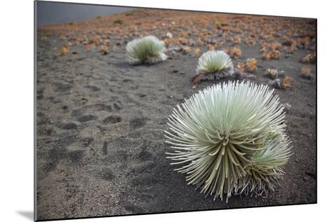 Hawaii, Maui, Haleakala, a Silversword Plant Growing Along the Trail of the Crater-Design Pics Inc-Mounted Photographic Print