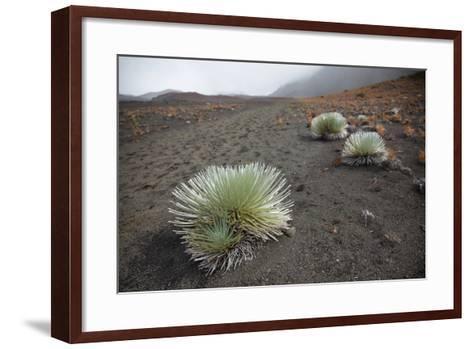Hawaii, Maui, Haleakala, a Silversword Plant Growing Along the Trail of the Crater-Design Pics Inc-Framed Art Print