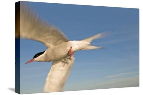 Closeup of Arctic Tern in Flight over Bristol Bay, Alaska During Summer-Design Pics Inc-Stretched Canvas Print
