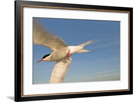 Closeup of Arctic Tern in Flight over Bristol Bay, Alaska During Summer-Design Pics Inc-Framed Art Print