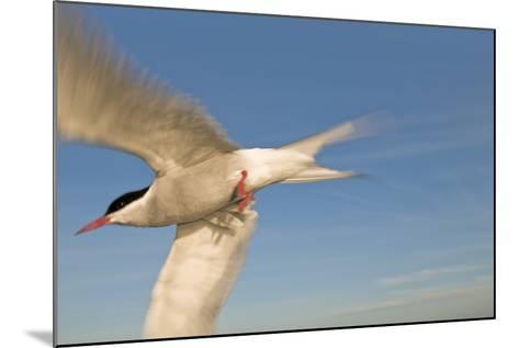 Closeup of Arctic Tern in Flight over Bristol Bay, Alaska During Summer-Design Pics Inc-Mounted Photographic Print