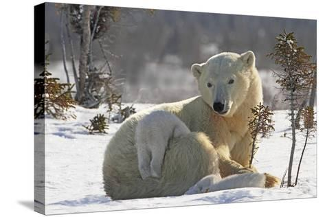 Mother Polar Bear (Ursus Maritimus) Playing with Her Cub-Design Pics Inc-Stretched Canvas Print