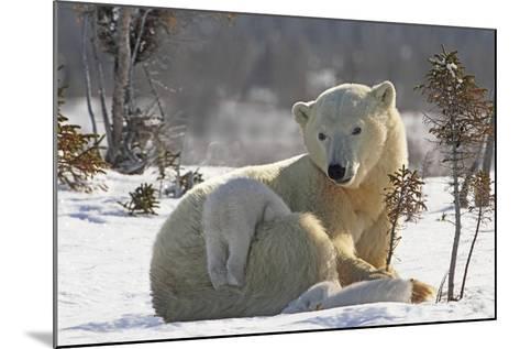 Mother Polar Bear (Ursus Maritimus) Playing with Her Cub-Design Pics Inc-Mounted Photographic Print