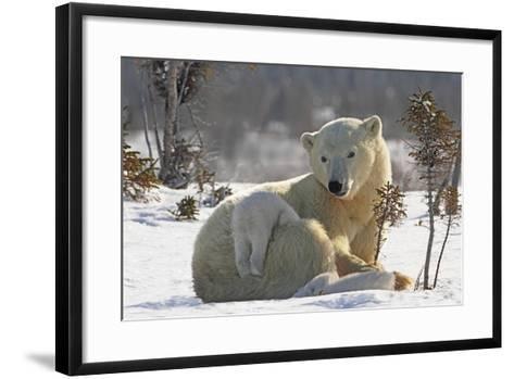 Mother Polar Bear (Ursus Maritimus) Playing with Her Cub-Design Pics Inc-Framed Art Print