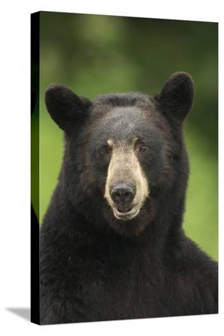 Portrait of Black Bear Minnesota Summer Digitalnot Captive-Design Pics Inc-Stretched Canvas Print