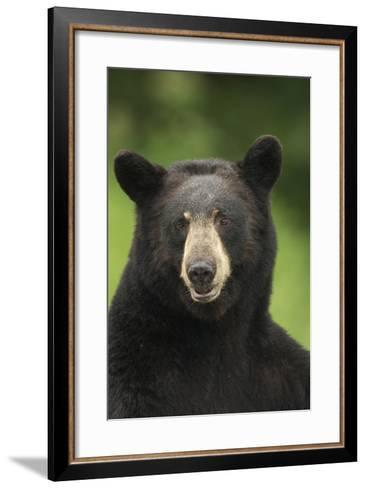 Portrait of Black Bear Minnesota Summer Digitalnot Captive-Design Pics Inc-Framed Art Print