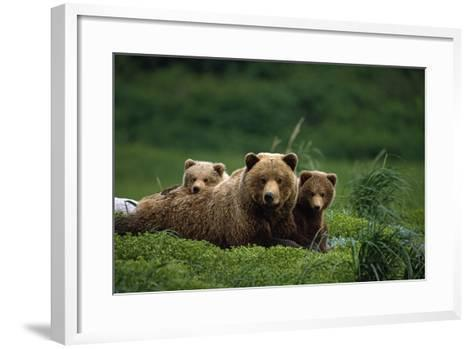 Grizzly Bear Mother and Cubs Lay in Field Southwest Ak - Nsummer-Design Pics Inc-Framed Art Print
