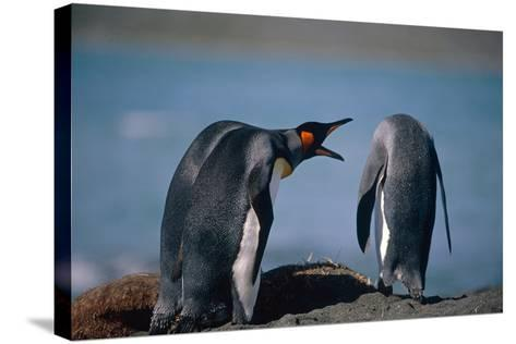 Group of King Penguins Interacting Together on Beach South Georgia Island Summer Antarctic-Design Pics Inc-Stretched Canvas Print