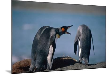 Group of King Penguins Interacting Together on Beach South Georgia Island Summer Antarctic-Design Pics Inc-Mounted Photographic Print