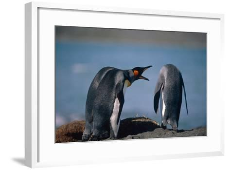Group of King Penguins Interacting Together on Beach South Georgia Island Summer Antarctic-Design Pics Inc-Framed Art Print