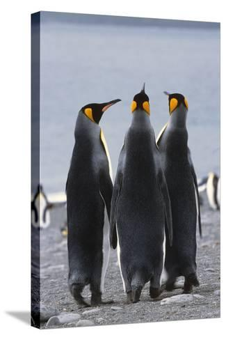 Group of King Penguins Standing Together South Georgia Island Antarctic-Design Pics Inc-Stretched Canvas Print
