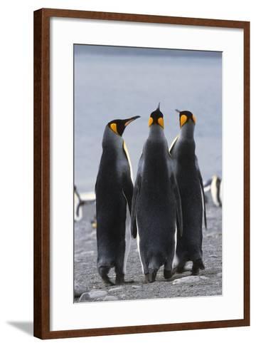 Group of King Penguins Standing Together South Georgia Island Antarctic-Design Pics Inc-Framed Art Print