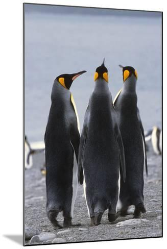 Group of King Penguins Standing Together South Georgia Island Antarctic-Design Pics Inc-Mounted Photographic Print