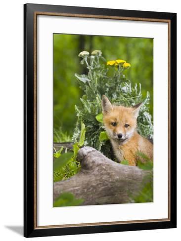 Red Fox Kit in Spring Wildflowers Minnesota Captive-Design Pics Inc-Framed Art Print