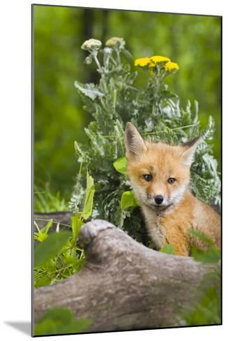 Red Fox Kit in Spring Wildflowers Minnesota Captive-Design Pics Inc-Mounted Photographic Print