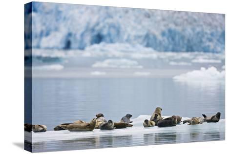 Harbor Seals Rest on an Iceberg with Dawes Glacier-Design Pics Inc-Stretched Canvas Print