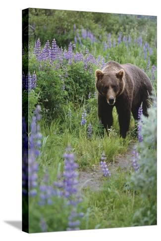 Captive: Brown Bear Walking Amongst Lupine Wildflowers at the Alaska Wildlife Conservation Center-Design Pics Inc-Stretched Canvas Print