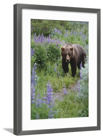 Captive: Brown Bear Walking Amongst Lupine Wildflowers at the Alaska Wildlife Conservation Center-Design Pics Inc-Framed Art Print