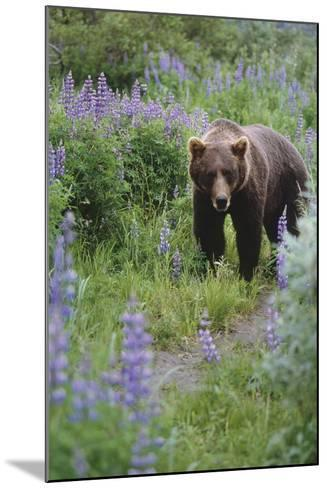 Captive: Brown Bear Walking Amongst Lupine Wildflowers at the Alaska Wildlife Conservation Center-Design Pics Inc-Mounted Photographic Print