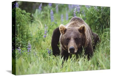 Captive: Brown Bear Laying Amongst Lupine Wildflowers at the Alaska Wildlife Conservation Center-Design Pics Inc-Stretched Canvas Print