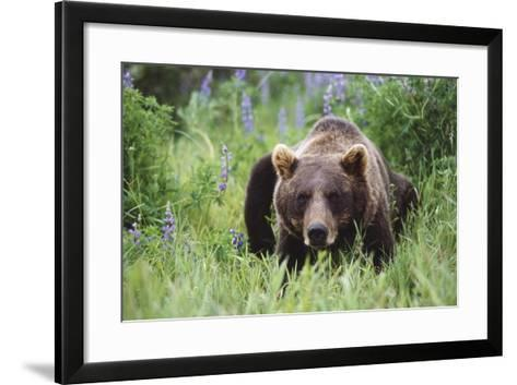 Captive: Brown Bear Laying Amongst Lupine Wildflowers at the Alaska Wildlife Conservation Center-Design Pics Inc-Framed Art Print