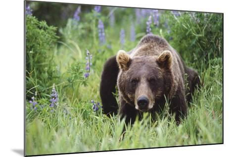 Captive: Brown Bear Laying Amongst Lupine Wildflowers at the Alaska Wildlife Conservation Center-Design Pics Inc-Mounted Photographic Print