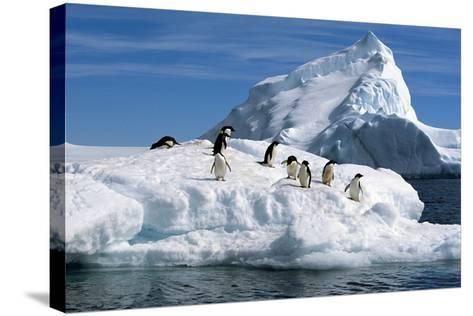 Adelie Penguins Jump from Iceberg Paulet Is Antarctic Summer-Design Pics Inc-Stretched Canvas Print