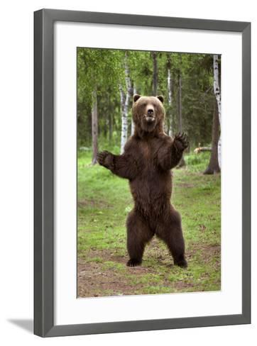 Brown Bear Standing on Hind Legs Southcentral Alaska Summer-Design Pics Inc-Framed Art Print