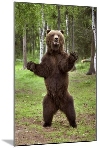 Brown Bear Standing on Hind Legs Southcentral Alaska Summer-Design Pics Inc-Mounted Photographic Print