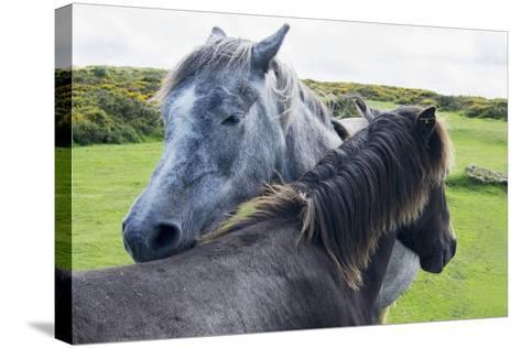 Horses on a Lush Green Field; Devon, England-Design Pics Inc-Stretched Canvas Print