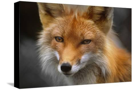 Captive: Close Up of Red Fox at the Alaska Wildlife Conservation Center-Design Pics Inc-Stretched Canvas Print