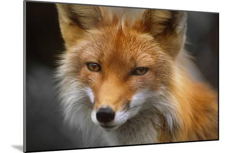 Captive: Close Up of Red Fox at the Alaska Wildlife Conservation Center-Design Pics Inc-Mounted Photographic Print