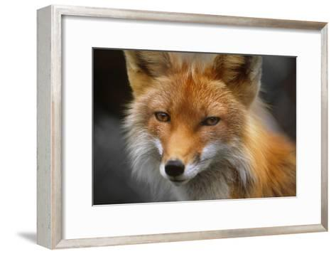 Captive: Close Up of Red Fox at the Alaska Wildlife Conservation Center-Design Pics Inc-Framed Art Print