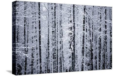 Snowcovered Cottonwood Trees Girdwood Southcentral Ak Winter-Design Pics Inc-Stretched Canvas Print