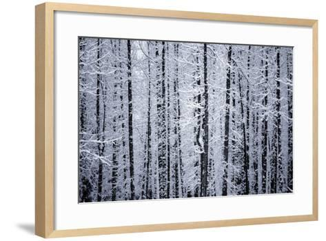 Snowcovered Cottonwood Trees Girdwood Southcentral Ak Winter-Design Pics Inc-Framed Art Print