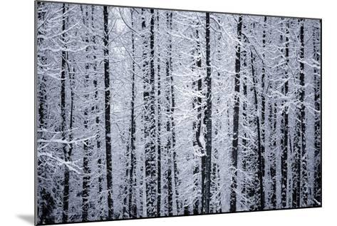 Snowcovered Cottonwood Trees Girdwood Southcentral Ak Winter-Design Pics Inc-Mounted Photographic Print
